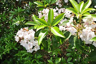 Elliott Laurel - Mountain laurel in bloom at Elliott Preserve, June 2013