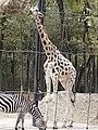 Em - Equus quagga and Giraffa camelopardalis rothschildi - 2.jpg