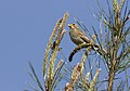 Emberiza calandra - Corn bunting 08.jpg