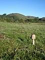 Emerging Parasol mushroom on Hangman's Hill - geograph.org.uk - 618868.jpg