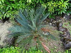 240px encephalartos hirsutus furnas 2015 (01)