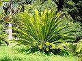 Encephalartos longifolius04.jpg