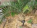 Encephalartos longifolius - Atlanta Botanical Garden.JPG