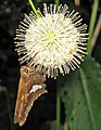 Epargyreus clarus (silver-spotted skipper butterfly) (Newark, Ohio, USA) 1 (41536886530).jpg