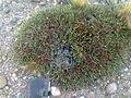 Ephedra ochreata.jpg