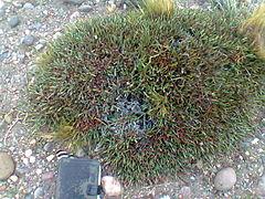 240px ephedra ochreata
