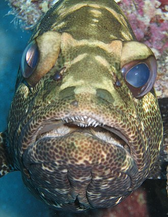Camouflage grouper - Camouflage grouper