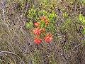 Erica mammosa red IMG 7346.jpg