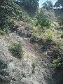 Erigeron karvinskianus DC. (AM AK218586-2).jpg