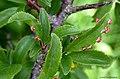 Eriophyes prunispinosae on Blackthorn Prunus spinosa (24940622517).jpg