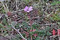 Erodium cicutarium, Santa Coloma de Farners.jpg