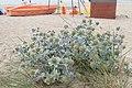 Eryngium maritimum kz17.jpg