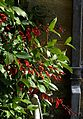 Erythrina crista-galli - Flickr - peganum.jpg