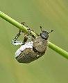 Escarabajo azul hembra - blue beetle female (566122928).jpg
