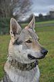 Eska der Tschechoslowakische Wolfhund neues Halsband.jpg
