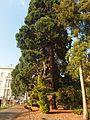 Essen, Villa Hügel, Hügelpark, Mammutbaum.jpg