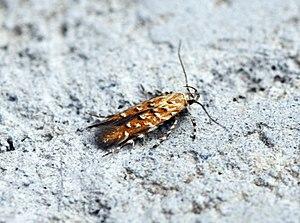 Eteobalea isabellella (34191297261) .jpg