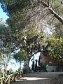Eucaliptus del parc de l'Oreneta - arbre d'interès local P1510229.jpg