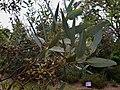 EucalyptusCyanophylla BotGartenMelbourne-20171124-1b.jpg