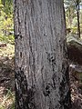 Eucalyptus acmenoides bark.jpg