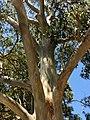 Eucalyptus propinqua - upper branch bark.jpg