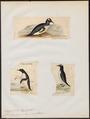 Eudyptes papua - 1700-1880 - Print - Iconographia Zoologica - Special Collections University of Amsterdam - UBA01 IZ17800229.tif