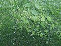 EuonymusBungeanus4.jpg
