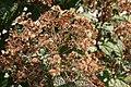 Eupatorium dubium Little Joe 5zz.jpg