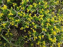 Euphorbia acanthothamnos RF.jpg