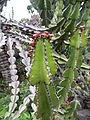 Euphorbia cooperi kz3.JPG