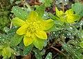 Euphorbia epithymoides kz05.jpg