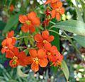 Euphorbia fulgens, Allan Gardens.jpg