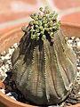 Euphorbia obesa 25.JPG