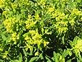 Euphorbia salicifolia2.JPG