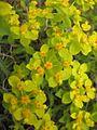 Euphorbia spinosa 02.JPG