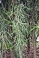Euphorbia tirucalli 14zz.jpg