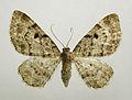 Eupithecia abietaria.jpg