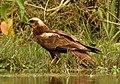 Eurasian Marsh Harrier Circus aeruginosus by Dr. Raju Kasambe DSCN2872 (34).jpg
