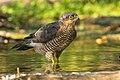 Eurasian Sparrowhawk male - Castelletto Merli - Italy FJ0A2446 (30806289108).jpg