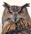 European Eagle Owl Portrait - London Bridge, London, England - Friday 7th September 2007 (1345403142).jpg