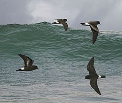 European Storm Petrel from the Crossley ID Guide Britain and Ireland.jpg