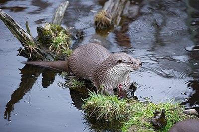 European otter 02.jpg