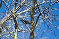 European starling (24976159616).jpg