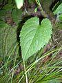 Eurybia divaricata (homeredwardprice) 004.jpg