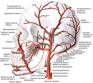 Inferior alveolar artery - Image: External carotid artery with branches