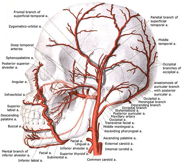Deep temporal arteries - Wikiwand