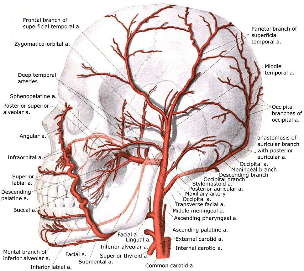 External carotid artery with branches