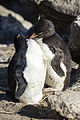 FAL-2016-New Island, Falkland Islands-Rockhopper penguin (Eudyptes chrysocome) 03.jpg