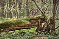Fallen Tree In Vozdvizensky Forrest.jpg