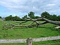 Fallen tree, near Holmlea Farm, Doveridge - geograph.org.uk - 200468.jpg